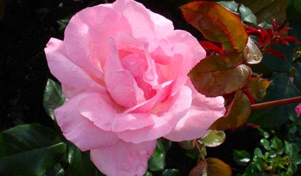 rosar.jpg